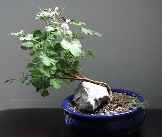 Apple Nutmeg pelargonium