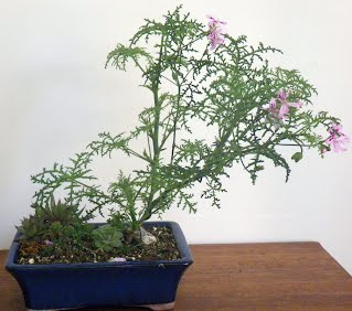 FERN LEAF - pelargonium denticulatum, pine scented bonsai
