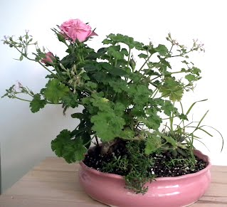 Nutmeg scented pelargonium and mini-roses