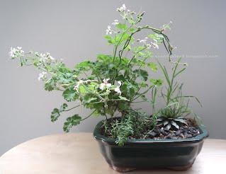 Pink Nutmeg scented pelargonium