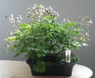Tutti- Fruity scented pelargonium