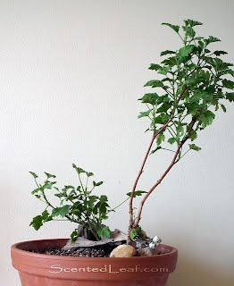 Pelargonium Frensham Lemon bonsai grown in driftwood