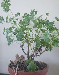 Apricot- scented Pelargonium Mexican Sage bonsai ISHITZUKI / Root-over-rocks style