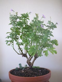 Pelargonium Capitatum / Attar of Roses / Drusaim bonsai SANKAN style
