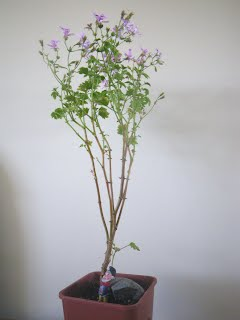 Scented Pelargonium Frensham Lemon bonsai - trained in informal upright style