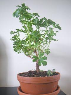 Apricot- scented Pelargonium / geranium Mexican Sage bonsai