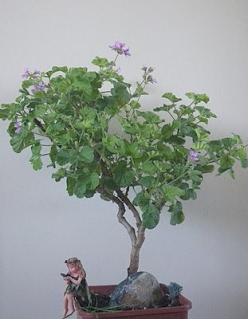 Scented Pelargonium Atomic Snowflake bonsai - trained in informal upright style