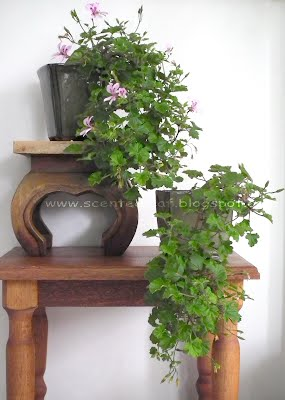 Pelargoniums Marie Thomas trained in cascade bonsai style
