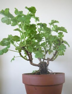 Pelargonium Shrubland Rose bonsai NEAGARI / exposed root style