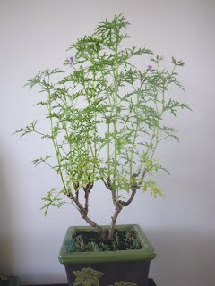 Sokan Pelargonium Radens - Skeleton Rose bonsai