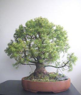 picea pungens globosa bonsai