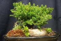 Juniperus Procumbens Nana Bonsai