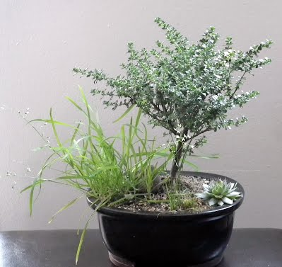 Alpine Bush Mint - Prostanthera Cuneata Bonsai