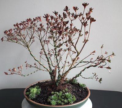 Stewartsonian Azalea multitrunk