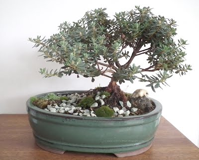 PJM Rhododendron - scented leaf bonsai