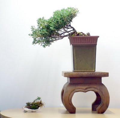 PJM Rhododendron - scented leaf semicascade bonsai