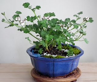 Miniature Garden with blooming apple_nutmeg Pelargonium xFragrans
